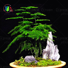 100 Pcs Dawn Redwood Forest Bonsai Seeds - Bonsai Tree - Metasequoia glyptostroboides(China)