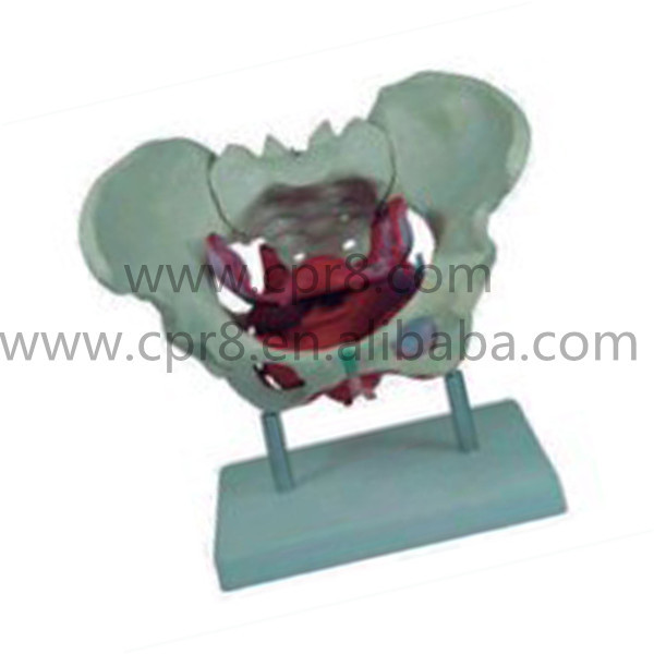 BIX-A1025 Human Female Pelvic Floor Muscle Model   MQ169<br>