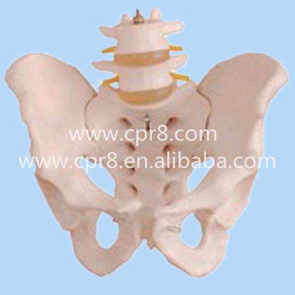 BIX-A1027  Life-size Human Pelvis Model With 2 Lumbar Vertebra Model  MQ167<br>