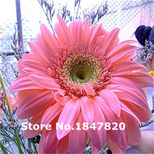 Rare Gerbera Seeds, 10 kinds 100 Mix Colors Flower Seeds, High survival Rate for Home and Garden.