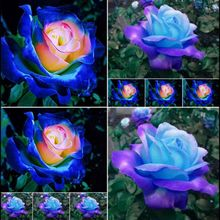20 Pcs Rare Blue Pink Rose Seeds Color Ss Magnificent Flower Home Decor Garden Plants