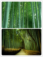 Asian seed Free shipping 20 fresh giant moso bamboo seeds for DIY home garden Household items tree bamboo Novel Bonsai Seed(China)