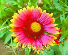 Free Shipping 20 Gazania Flower Seeds,Mix Color Perennial DIY Home Potted ,Yard Flower,Heat tolerant