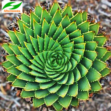 20PCS CAPE ALOE SEEDS (Aloe ferox) Africa Red Flowering Succulent Medicinal(China)