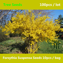 Beautifying Forsythia Suspensa Seeds 100pcs, Flowering Plant Chinese Lian Qiao Tree Seeds, One Of The 50 Fundamental Herbs Seeds