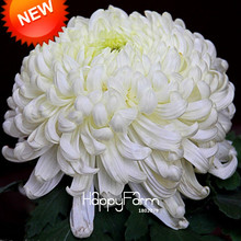 New Seeds 2017!Flower Seeds Potted White Chrysanthemum Seeds Beautiful Potted Plants Garden 100 Particles / lot,#P7CD1L(China)