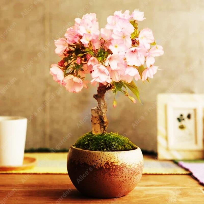 Сакура выращивание и уход в домашних условиях 2