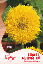 Ornamental plant sunflower seeds, teddy bear sunflowers, ornamental sunflower seeds,about 25 particles