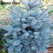 100 Particle/bag Blue Spruce Seeds, Picea Tree Potted, Bonsai Courtyard Garden Plant, Pine Tree Seeds
