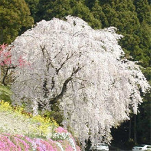 White fountain weeping cherry tree seeds,DIY Home Garden Dwarf Tree,Beautiful and elegant - 10pcs/lot