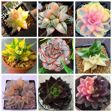 200pcs Succulent Cactus Seed Prickly Pear Bonsai Flower Seeds Potted Plant for Home Garden Can Beauty Anti-Aging Planting Pots(China)
