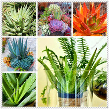 100 pcs/bag Aloe seeds potted Ornamental Medicinal plant Succulent Seeds,bonsai seeds for home garden(China)