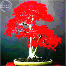 BELLFARM Japanese Red Maple Bonsai Tree Cheap Seeds, Professional Pack, 20 Seeds / Pack, Very Beautiful Indoor Home Tree NF924