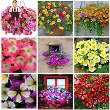 100pcs Wholesale Garden Petunia Seeds Hanging Flowers Plant Pot For Balcony Bonsai Flower Seeds Diy Plant Morning Glory Semillas