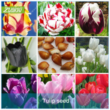 ZLKING 1 Pcs Tulip Bulbs Not Tulip Seeds 19 colors Available Tulips Variety Fresh Bulbous Root Flower Corms Planted(China)