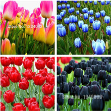Big Promotion!!! 100Pcs Tulip Seeds, Tulip Ball Seeds Bonsai Flower Pot Plant Ball Mix Colors DIY Home Garden Free Shipping(China)