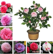 50 Pcs / Bag Camellia Seeds Potted Plants easy Planting four Seasons Diy Plant Flower Seeds for Garden bonsai tree Semente sale(China)