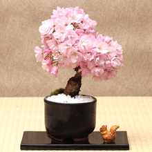 10 Pcs Very Rare Japanese Sakura Seeds Tokyo Cherry Blossoms Bonsai Flower Pink Cherry Blossoms Tree Ornamental Plant