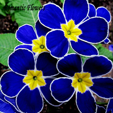 100pcs Blue Evening Primrose , Fragrant Flowers Hardy Plants DIY Home Gardening , Free Shipping