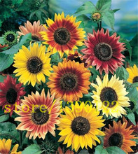 40 sunflower seeds MINI rainbow sunflower seeds rare bonsai flower for home garden decoration