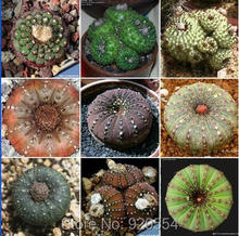 Real seed,20pcs/lot mixed cactus (Frailea asterioides) plants succulents plants seeds DIY home garden free shipping