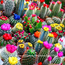 200 pcs CACTUS Flower Seeds,exotic seeds Succulent Ornamental Plants attractive impressive(China)