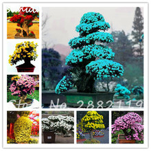 New Arrive ! 20Pcs Chrysanthemum Tree Seeds Indoor Bonsai Plants Natural Growth for Home Garden High Budding Rate Mix Color