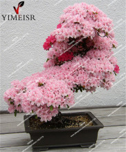 Bonsai Tree japanese sakura seeds. rare Japanese cherry Blossoms flowers seeds in indoor bonsai,Pink Bonsai Tree15seeds/pack(China)