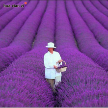 French Provence Lavender Seeds Potted Plant Seeds Very Fragrant 100 Particles / lot(China)