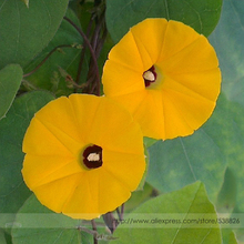 Rare Japanese Takii Yellow Morning Glory Garden Climbing Flower Seeds, Professional Pack, 50 Seeds / Pack, Very Beautiful Fowers