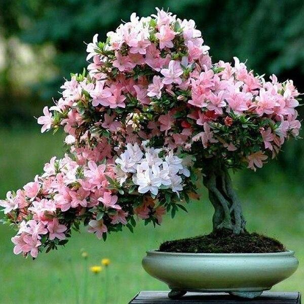Декоративная сакура выращивание дома 19