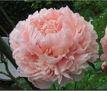 Heirloom Purely Pink Salmon Peony Tree, 10 Seeds, big blooming double petals