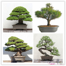 A Pack 30 Pcs Blue Spruce Seeds Picea Tree Potted Bonsai Courtyard Garden Bonsai Plant Pine Tree Seeds