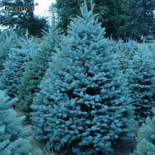Bonsai Blue Spruce Seeds Picea Pungens Seeds Evergreen Tree 100 particles / bag(China)