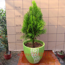 50 pcs/bag cypress seeds,italian cypress tree,bonsai tree seeds,Natural growth indoor or out door plant for home garden planting