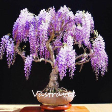 Purple Wisteria Sinensis 10 Seeds / Bag Chinese wisteria DIY Home Garden Bonsai Easy to Grow from Seeds Containers Ornamental(China)