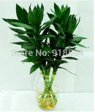 100% Genuine Rare 50pcs Lucky Bamboo seeds Anti Radiation Absorb dust tree seeds 49%