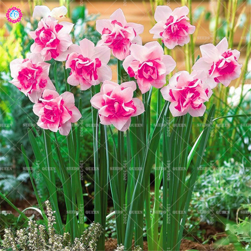 13-Colour-Daffodil-Flower-Seeds-DIY-Home-Garden-Plant-Bonsia-Absorption-Radiation-Narcissus-Perennial120PCS.jpg_640x640_