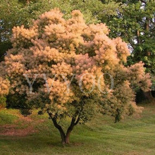 Cotinus Coggygria Seeds 40pcs, Ornamental Plant Smoke Bush Shrub Seeds, Landscape Design Smoke Tree Seeds Free Shipping  B63