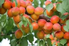 Direct apricot  tree base more Cheap precocious fruit orchard seed seed varieties 2 Seeds/Pack fruit seeds