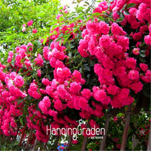 Big Sale! 100seeds/Bag Colorful Rosa Rose Chinensis Flower Seeds, 22 kinds to choose,beautiful plants #2QUI2S