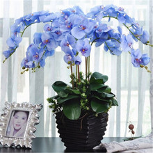 100seeds Potted Flowers Phalaenopsis Orchids Wind seeds Balcony Bonsai Plant For Garden & Home Four Seasons planting