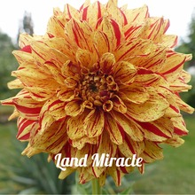 100 Seeds Rare Dragon Yellow Blood Red Dahlia Flower Seeds Charming Chinese Flower Bonsai Plants for Garden Potted Seedling