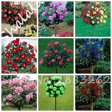 10 Pcs/bag Rose Tree Rose Seeds Dwarf Bonsai Flower Seeds Tree Seeds Chinese Roses 14 colors Give Lover Plant for Home Garden