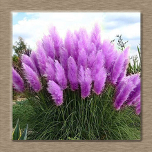 On Sale!!! Pretty Flowers seed Rare Purple Pampas Grass Garden plant Flowers Cortaderia Selloana Flower seeds 1000pcs