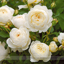 Imported 'Claire Austin' Rare White Shrub Rose Flower Seeds, Professional Pack, 50 Seeds / Pack, Large Fragrant Elegant Flowers