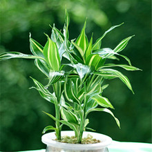 Big Promotion!Rare Silver Heart Lucky Bamboo Seeds Absorb Dust Tree Seeds Anti Radiation Dracaena Home Garden,100 Seed/Pack,#91Q