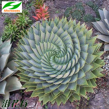 5PCS CAPE ALOE SEEDS (Aloe ferox) Africa Red Flowering Succulent Medicinal(China)