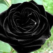 20 Heirloom Blooming Black Rose Seeds Perennial Plant