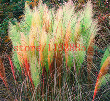 1000 pcs colorful Pampas Grass Cortaderia Seeds rare bonsai grass pampas seeds for home garden DIY